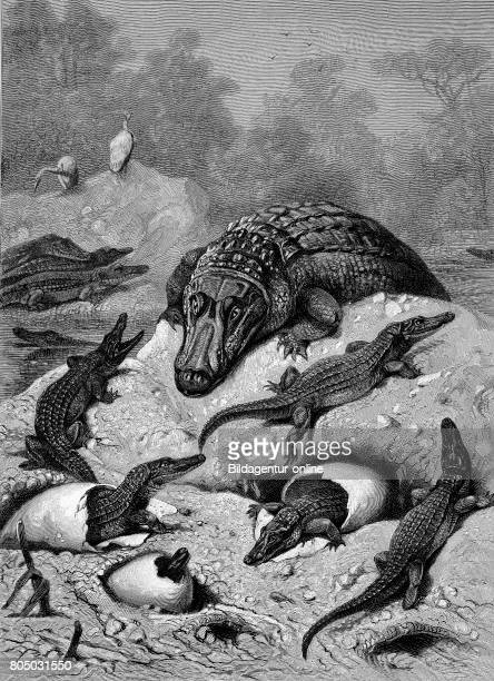 Breeding of alligators eggs and newly hatched animals Woodcut from 1892