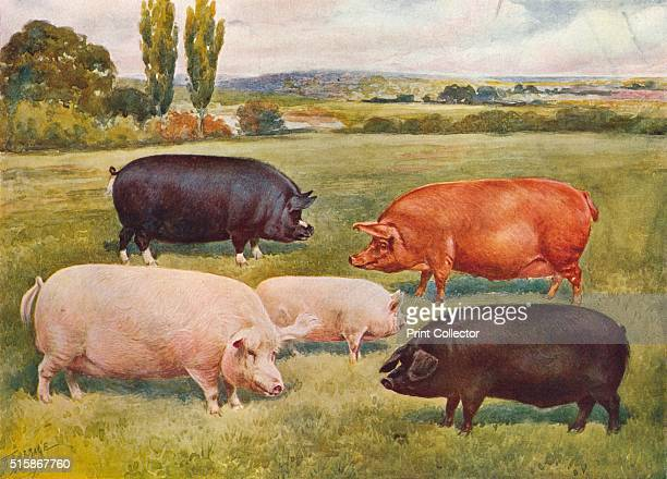 small pig breeds stock photos and pictures getty images