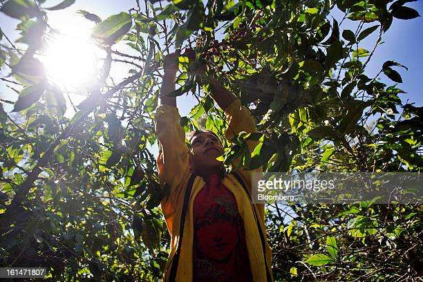 Brenda Lourdes Perez Martinez helps her family pick coffee beans on a small parcel damaged by the roya coffee fungus near Antigua Guatemala on...