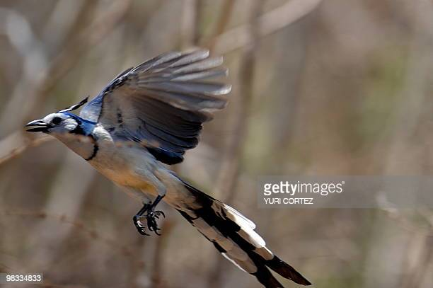 A brent magpie flies at the National Palo Verde Park on April 8 2010 in Guanacaste some 220 kilometers Northeast from San Jose Recently the National...