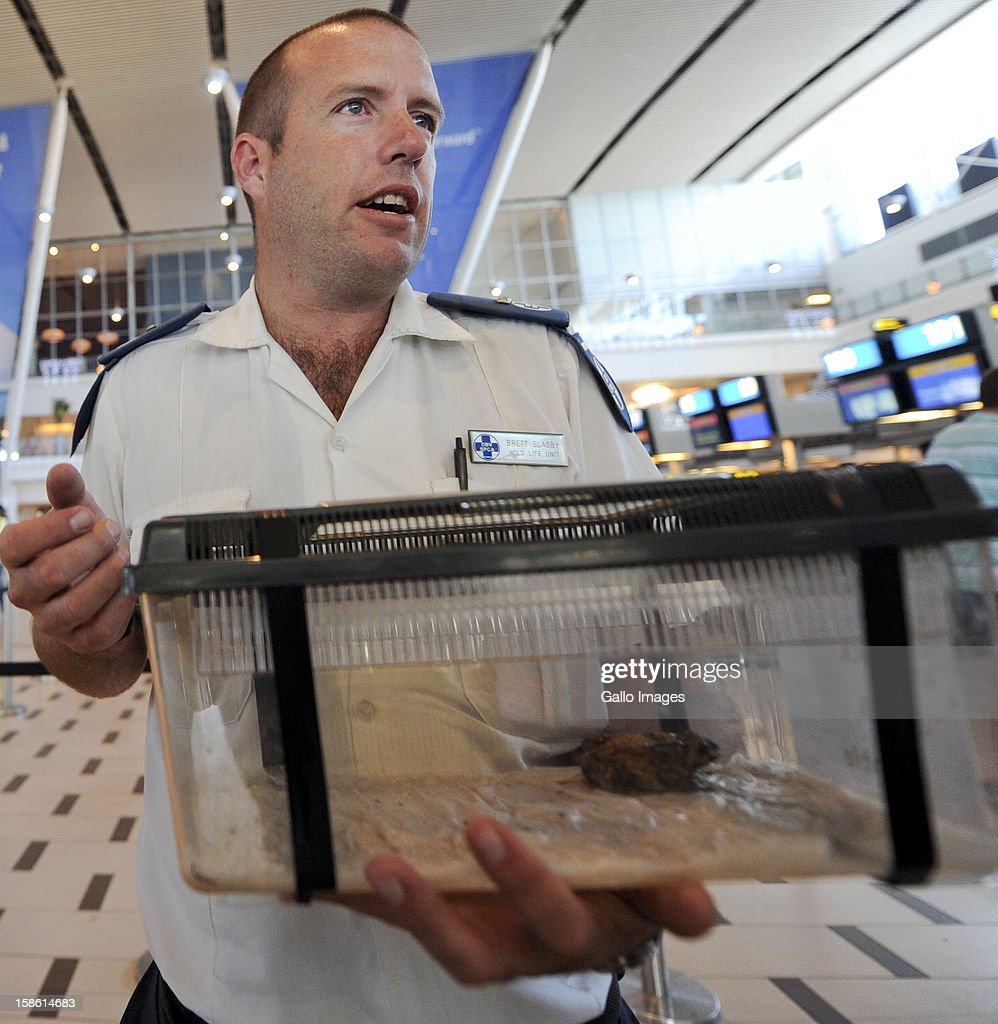 Brett Glasby, from the Cape of Good Hope SPCA, holds Jack, the travelling toad, in his special case for transportation on December 21, 2012 in Cape Town, South Africa. The Asian Common Toad jumped in a candle stick and travelled all the way from China to South Africa. Jack will be transported from Cape Town to Johannesburg where he will be moved to the Montecasino Bird Gardens.