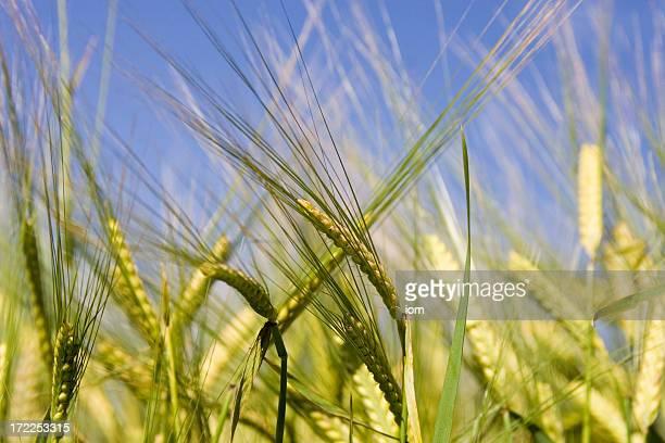 brew barley 2