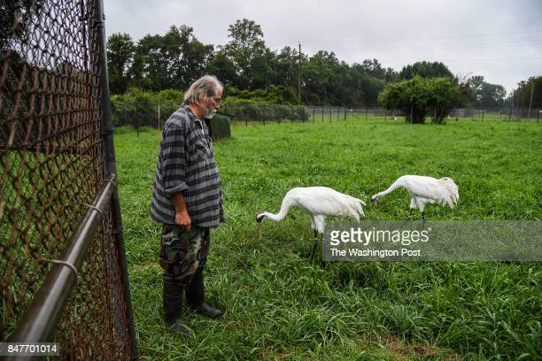 Brian Clauss a Whooping Crane flock manager stands near two Whooping Crane adult birds at the USGS Patuxent Wildlife Research Center on Tuesday...