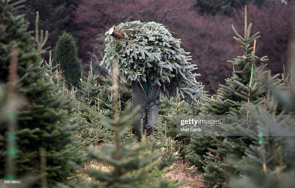 Brian Else carrys a freshly cut tree at the Dartmoor Christmas Tree Farm on December 1 2009 near Ashburton England The 23 acre farm in the heart of...