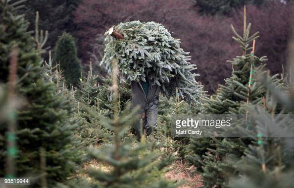 Brian Else carrys a freshly cut tree at the Dartmoor Christmas Tree Farm on December 1 2009 near Ashburton England The 23 acre farm in the heart of...