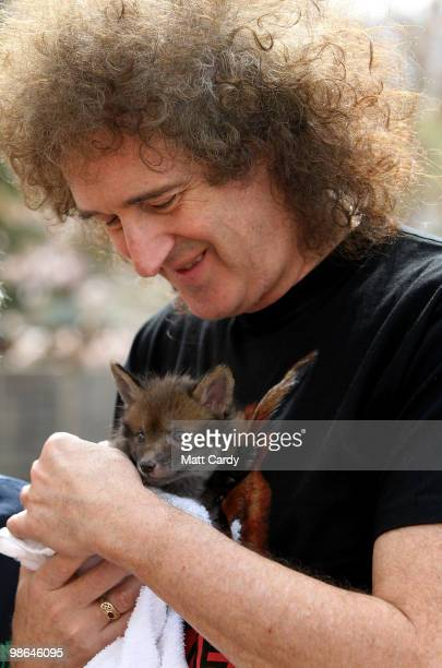 Brian May founding member of the rock band Queen holds a baby fox cub rescued by the Secret World Wildlife Rescue centre in Somerset on April 24 2010...