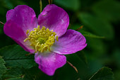 Briar flowers, A bush of a blossoming dog rose, Pink flowers of a wild rose, Hipshop