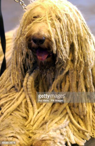 A briard at the National Exhibition Centre in Birmingham at the start of Crufts the world's largest and most prestigious canine show which is...