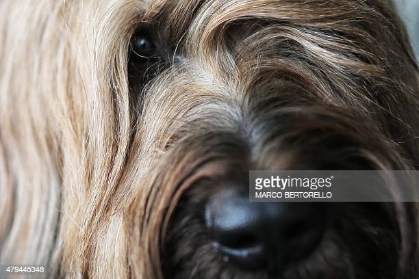 A Briard dog looks on during the International Dog Show competition in Turin on July 4 2015 AFP PHOTO / MARCO BERTORELLO