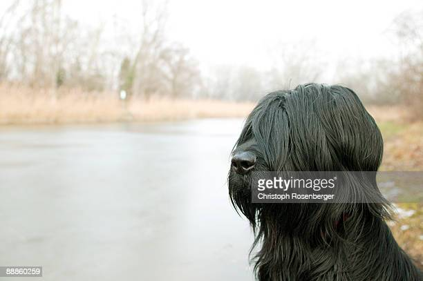 Briard dog on river bank