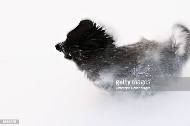 Briard dog running in snow