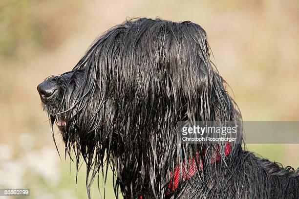Briard dog with wet fur