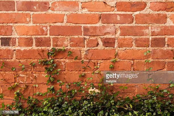 Mur de briques et Vines
