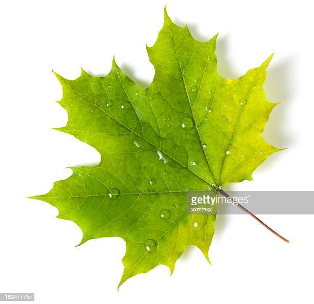 A bright and beautiful green maple leaf with dew
