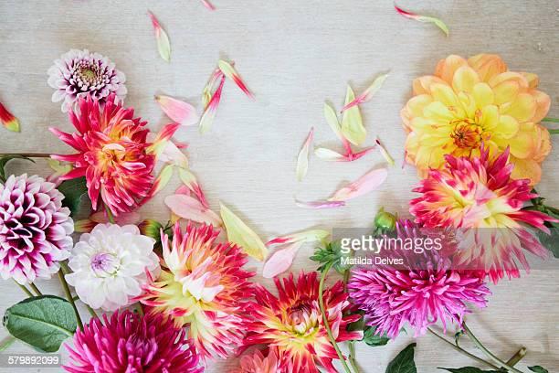 Bright and bold coloured dahlias