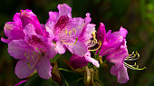 Bright and rich flower of rhododendron, mountain evergreen plant close up