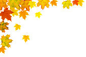 Autumn maple leaf background. Bright yellow orange green red leaves isolated on a white horizontal background. Colorful foliage. Space for text.