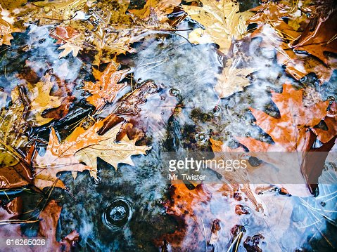 bright autumn maple leaves in water puddle during rain : Stock Photo