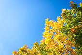 Bright autumn sunny day yellow leaves against blue sky with copy space