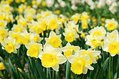 Bright beautiful daffodils in the garden on a bright spring day