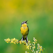 a bright bird is the yellow Wagtail sings on a summer solar meadow sitting on a flower
