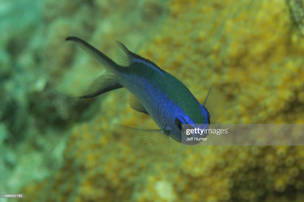 Bright blue damselfish on tropical coral reef