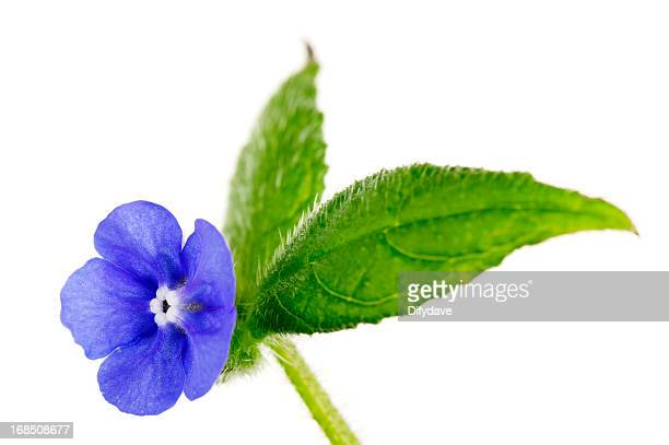 Bright Blue Flower And Leaves Of Green Alkanet Isolated