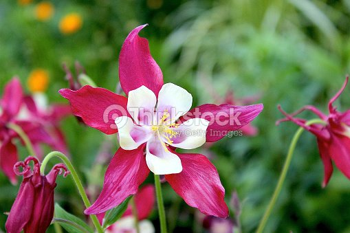 Bright fuschia columbine perennial flowers stock photo thinkstock bright fuschia columbine perennial flowers stock photo mightylinksfo