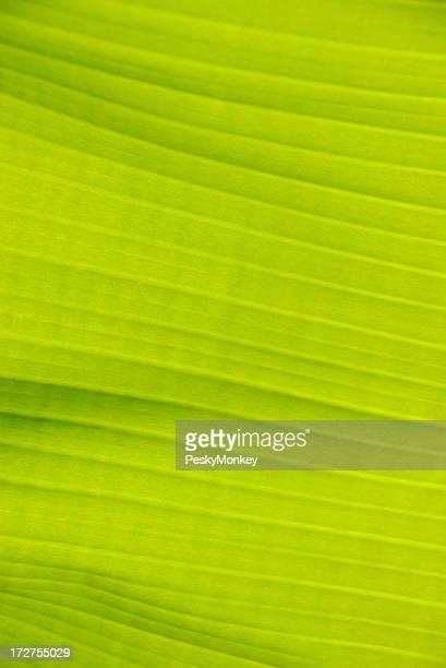 Hellen grünen Bananenblatt Hintergrund Full Frame