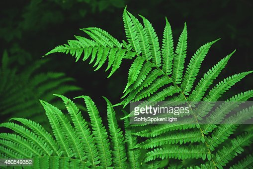 Brilhante verde Samambaia na floresta : Foto de stock