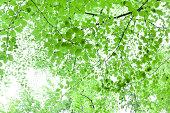 Fresh green tree foliage backlit against a high key sky.
