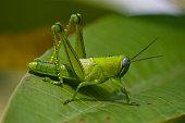 A bright green grasshopper on an leaf