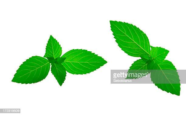 Vert vif à la menthe feuilles sur fond blanc.