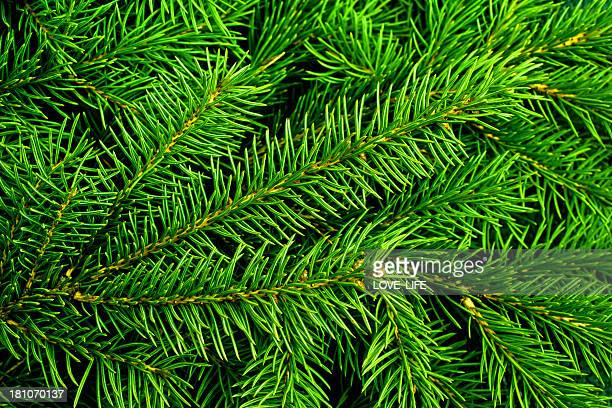 Bright green pine needles of a Christmas tree