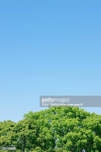 Bright green treetops beneath a clear blue sky. Chiyoda Ward, Tokyo Prefecture, Japan