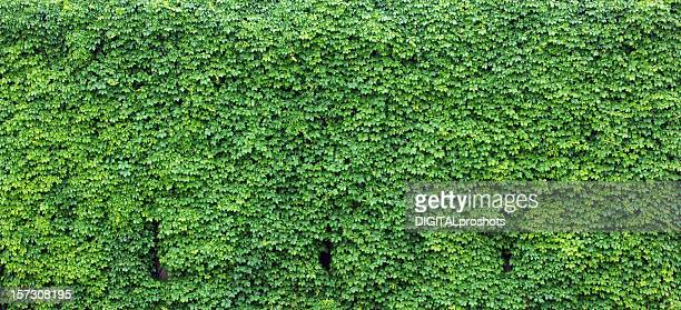 Bright green wall of ivy leaves