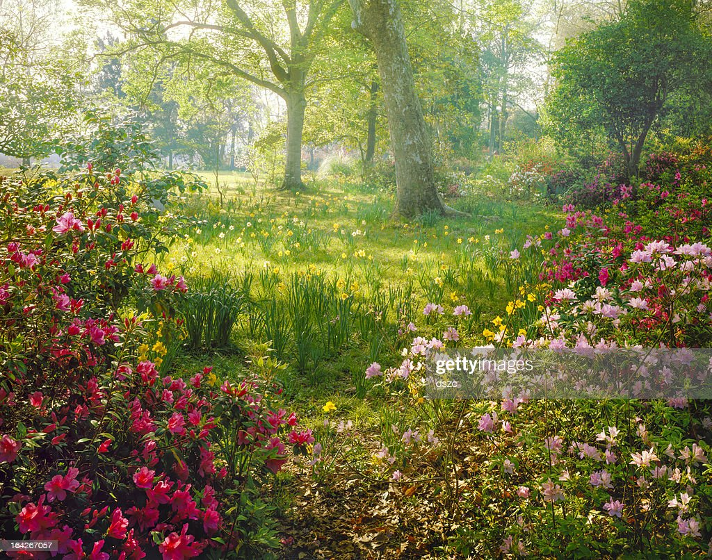 bright hazy sunlight through azalea and daffodil garden : Stockfoto