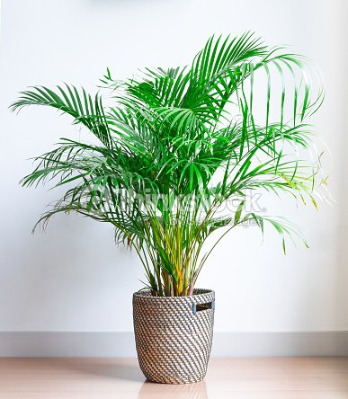 bright living room with houseplant on the floor in a wicker basket : Stock Photo
