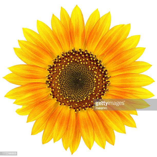 A bright opened sunflower with a white background