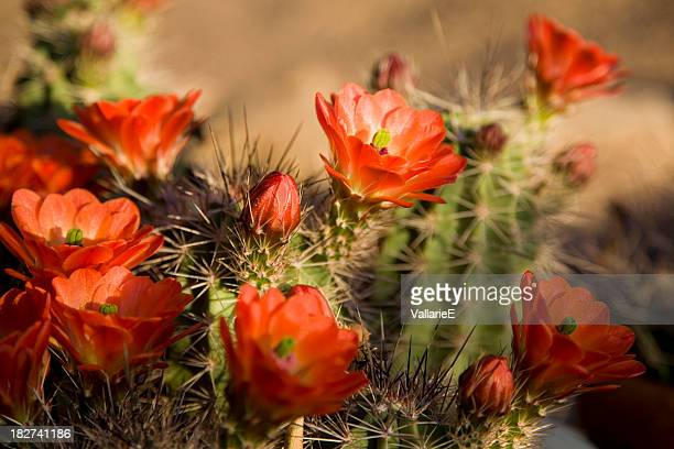 Bright Orange Cactus Flowers
