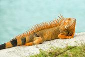 Bright orange iguana, Iguana iguana, sunning of rock with water of Atlantic Ocean, Florida.