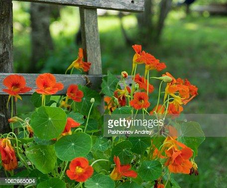 Bright Orange Nasturtiums Climbing Wooden Rail Fence : Stock Photo