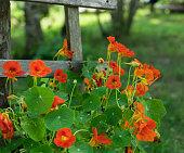 Flowering nasturtium in the garden. Bright orange nasturtiums rising along the wooden fence