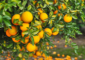 clusters of bright orange naval oranges hanging from naval orange tree, riverside california