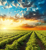 bright orange sunset in dramatic sky over green field with tomatoes