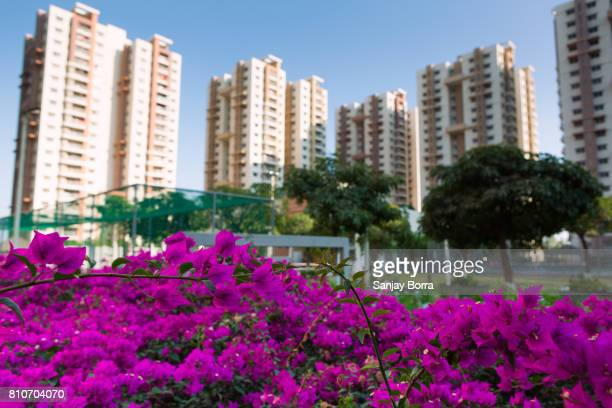Bright Pink Bougainvillea flowers with tall buildings in the background