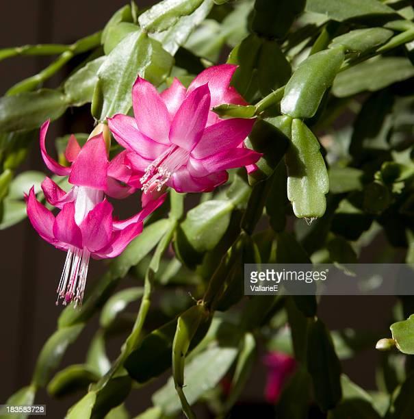 鮮やかなピンクのシャコバサボテン花