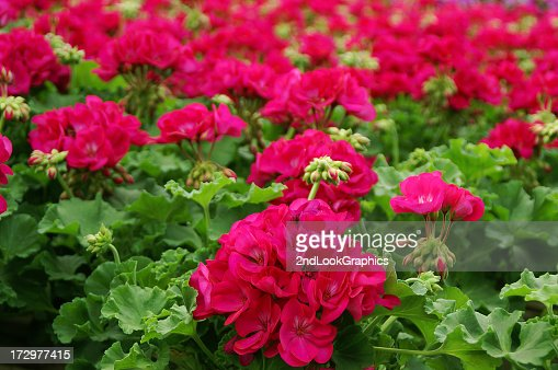 Bright Pink Geraniums in Greenhouse