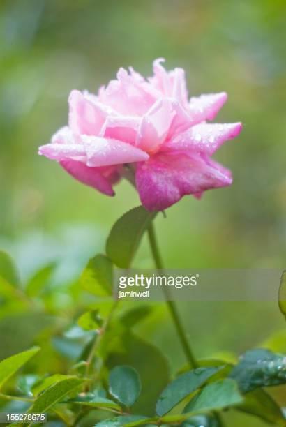 bright pink rose Stillleben