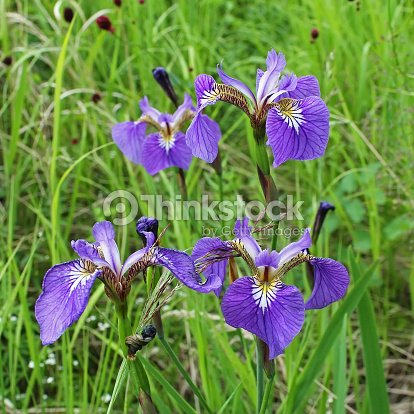 Bright Purple Flowers On A Background Of Green Gr Stock Photo
